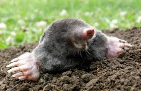 mole-1